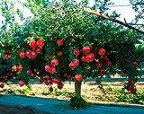 2 Live Plants Pomegranate Fruit Tree Wonderful Punica Granatum Shipped Bare Root