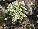 Sandwort (Minuartia Laricifolia L.) Dwarf Perennial Heirloom Carpet Flower Seeds, NEW