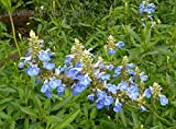 S90S. Salvia uliginosa Bog Sage - 30 Seeds