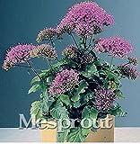 New MIX Throatwort(Trachelium Caeruleum) Nectar plants 50+ seeds - 8
