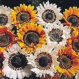 25ct Arctotis Harlequin Mix Annual Seeds