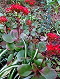 3 Organic Rooted of Kalanchoe Blossfeldiana Baby - Red Flowers