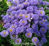 Erigeron speciosus Blue perennial Flower Seeds from Ukraine