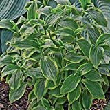 """shade AUTUMN GLOW tricyrtis formosana Toad Lily 2.5"""" pot = 1 Live Potted Plant"""