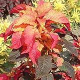 Outsidepride Amaranthus Illumination - 5000 Seeds