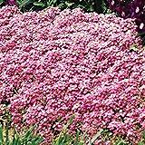 Park Seed Easter Bonnet Deep Pink Sweet Alyssum Seeds