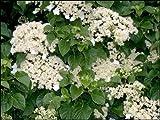 Climbing Hydrangea, Hydrangea anomala petiolaris, Seeds (Vine/Ground Cover) 300 seeds
