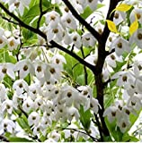 Nianyan Styrax Obassia JAPANESE SNOWBELL Styrax Japonica 20 SEEDS