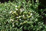 50 Seeds of Origanum syriacum / Zaatar Lamiaceae