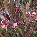 Purple Leaf Hop Bush (Dodonaea viscosa purpurea) 30ct. packet of seeds
