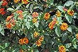 Live Radiation Lantana aka Lantana 'Radiation' Patio Tree Plant Fit 05 Gallon Pot