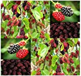 50 Black Mulberry Fruit Tree Seeds Morus nigra A++ SHADE TREE with EDIBLE FRUITS