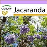 SAFLAX - Jacaranda - 50 Seeds - Jacaranda mimosifolia