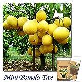 Solution Seeds Farm New Rare 10 Seeds Hardy Mini Pummello Pomelo Tree Seeds Dwarf Kao Pan Grape Fruit Seeds! Rare Seeds (Not Plants or Tree) SEEDS