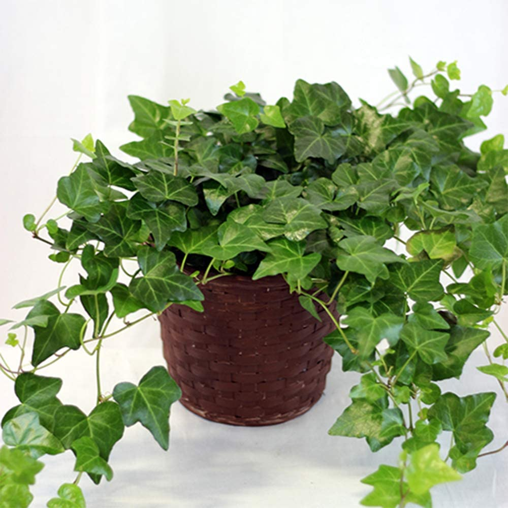 English Ivy to hang indoors