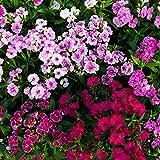 Telstar F1 Series Flower Seeds - Multi-Color Mix - 100 Seeds - Annual Flower Garden Seeds - Dianthus chinensis x barbatus