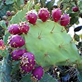 Prickly Pear Cactus Seeds (Opuntia stricta) 20+ Rare Organic Tropical Fruit Seeds in FROZEN SEED CAPSULES for the Gardener & Rare Seeds Collector - Plant Seeds Now or Save Seeds for Years
