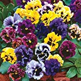 SimingD - Multicolor Pansy Flower Seeds Potted Multicolor Pansy Flower Garden Plants Perennials 50 Pieces / 1 bag