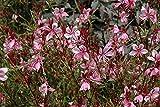 Gaura lindheimeri ''Crimson Butterflies' starter plant live plant