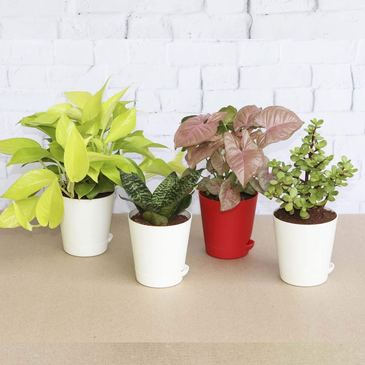 Ugaoo Indoor Plants For Home With Pot Money Plant Golden Jade Mini Sanseveria Green Syngonium Pink Amazon In Garden Outdoors