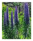 Echium candicans - Pride of Madeira - 15 Seeds
