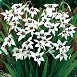 acidanthera murielae Fragrant Gladiolus, 25 Bulb, A Trouble-Free Summer Bulb