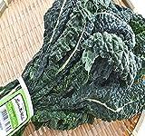 BIG PACK - Organic Lacinato Kale Seeds - aka Dinosaur kale. Very popular variety Brassica oleracea - By MySeeds.Co (BIG PACK)