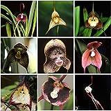 (Monkey 25 Type *Ambizu*) Perennial Dracula Simia Monkey Face Flower Seeds, 1 Professional Pack, 100 Seeds / Pack (MOF 01 Mix 9)