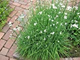 CHIVES GARLIC Live Plants Herb Plant - TWO [2] LIVE PLANTS fit 3.5 Inches Pot