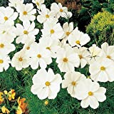 Park Seed Sonata White Cosmos Flower Seeds