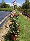 Fraser Photinia Aka Photinia Fraseri Live Plant Fit 05 Gallon Pot