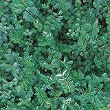 Burnet - Salad - 95 Seeds