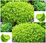 100 x Spicy Globe Basil Seeds - Ocimum basilicum - Compact Tidy Bush for Small Pots and Gardens - by MySeeds.Co