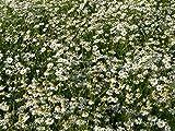 Gifts Delight Laminated 32x24 inches Poster: Genuine Chamomile Matricaria Chamomilla Chamomile Flowers Plant Matricaria Recutita Camomile Field Composites Asteraceae