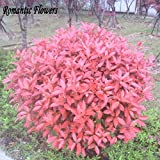 New Home Garden Plant 50 Seeds Photinia Fraseri Frasery Serrulata Red Robin Tipluohu Flower Seeds