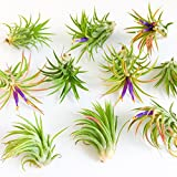 5 Pack Tillandsia Ionantha Rubra Air Plants - 30 Day Guarantee - Wholesale - Bulk - Fast Shipping - House Plants - Succulents - Free Air Plant Care Ebook By Jody James