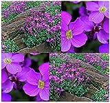 Aubrieta deltoidea - Purple Rockcress - Rock Garden Seeds - Hardy ZONES 4 To 8
