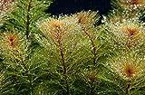 Myriophyllum mattogrossense Red - Red Watermilfoil x5 bunch - Live aquarium plant