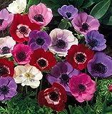De Caen Anemone Windflowers -25 Bulbs 7/8 cm - Very Hardy!