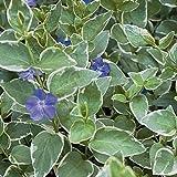 7 Rooted Plants of Vinca Major Plants (Periwinkle) Variegated