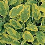 "Sage Icterina Live Plants USDA Certified Organic 2 ½ "" Pots"