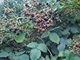 Himalayan Blackberry - Rubus discolor - 1 Bare Root Plant - Blackberries Plants - By Yumheart Gardens