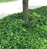 English Ivy Hedera helix Groundcover - 300 Bare Root Plants