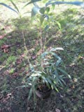 1 Starter Plant of Pseudosasa Japonica Arrow Bamboo