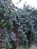 """Cascading Rosemary Plant - Creeping/Trailing - Outstanding for Culinary - 3"""" Pot"""