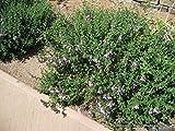 P088X01. 1 Plant of Creeping Germander Teucrium Chamaedrys