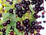 10seeds CHOKE CHERRY TREE VIKING ARONIA MELANOCARPA SEEDLINGS PLANTS