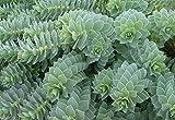 10 MYRTLE SPURGE -Flower Seeds - Euphorbia myrsinites,Evergreen succulent