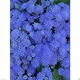 400 Seeds Flossflower Seeds, Garden Ageratum, Ageratum Mexicanum Blue Mink, Blueweed !