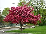 Grow Your Own Japanese Maple Trees(Red Crabapple)